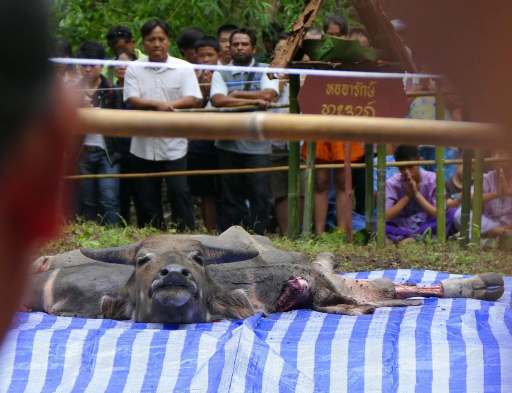 Der tote Büffel, ausgeweidet und hergerichtet für das Medium.