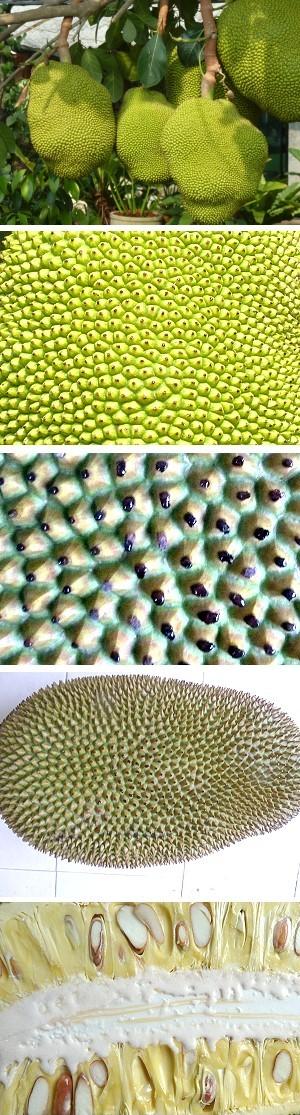 Jackfrucht, süße Stachelmonster aus der Urzeit