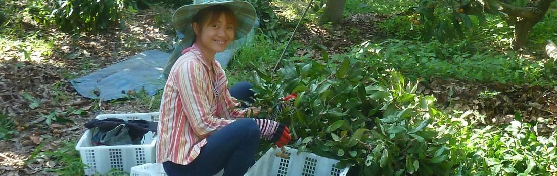 In Thailand Longans ernten, essen und erleben